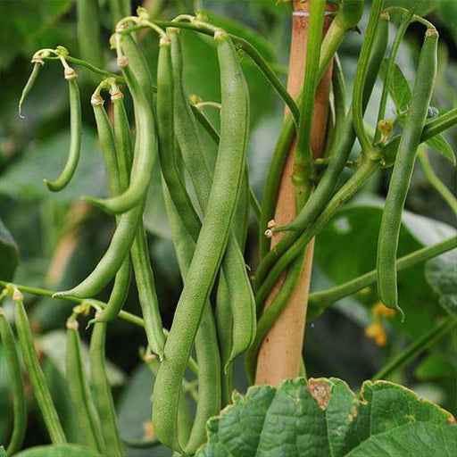 Pole Beans Selection Sanchi - Vegetable Seeds - Nurserylive