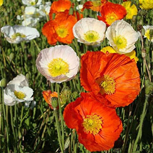 Poppy Iceland Nudicale Mixed Color - Flower Seeds - Nurserylive