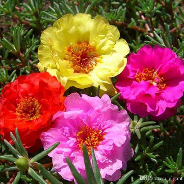 Portulaca Double Mixed Color - Desi Flower Seeds - Nurserylive