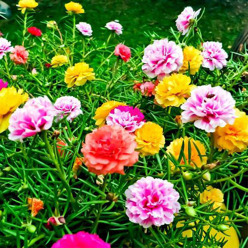 Portulaca F1 Hybrid Mixed Color - Flower Seeds - Nurserylive