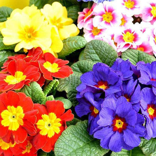 Primula Selection Mixed Color -Flower Seeds - Nurserylive