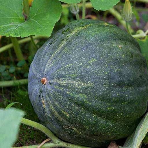 Pumpkin - Desi Vegetable Seeds - Nurserylive