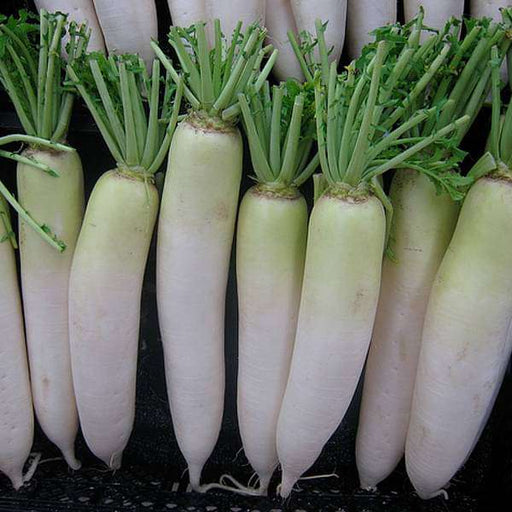 Radish Japani white - Desi Vegetable Seeds - Nurserylive