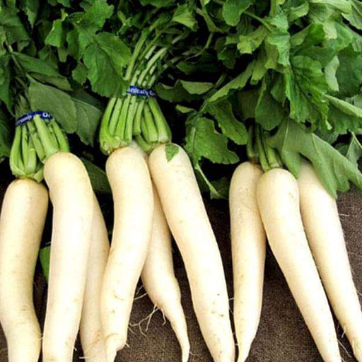 Radish Pusa Chetki - Desi Vegetable Seeds - Nurserylive