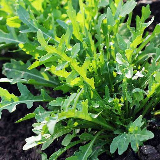 Rucola Cultivated, Rocket Cultivated - Herb Seeds - Nurserylive