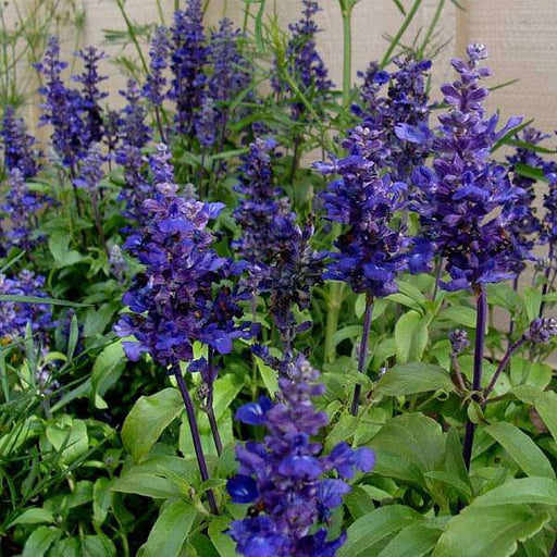 Salvia farinacea Blue - Flower Seeds - Nurserylive