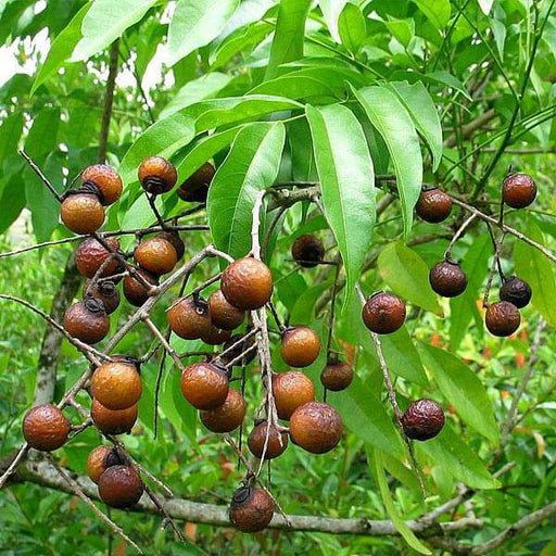 Sapindus Marginatus, Soap Nut - 1 kg Seeds - Nurserylive