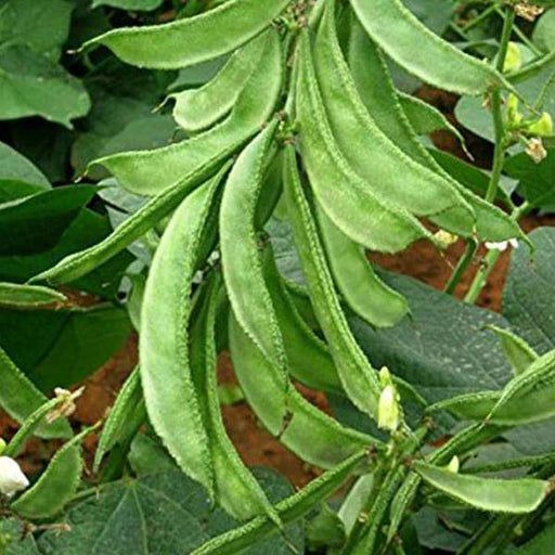 Sem Phali, Lima Beans - Desi Vegetable Seeds - Nurserylive