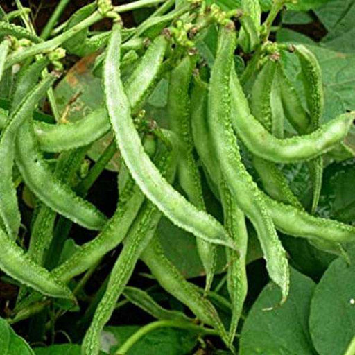 Sem Phali, Lima Beans - Vegetable Seeds - Nurserylive