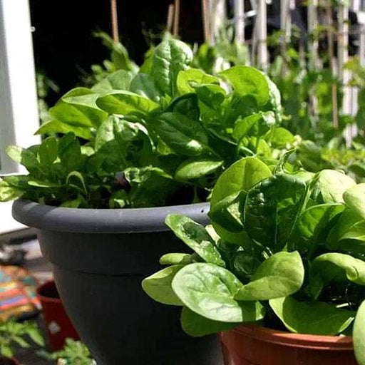 Spinach All Green - Desi Vegetable Seeds - Nurserylive