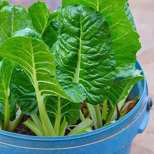 Spinach Pahari - Desi Vegetable Seeds - Nurserylive