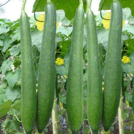 Sponge Gourd Chikni Turai - Desi Vegetable Seeds - Nurserylive