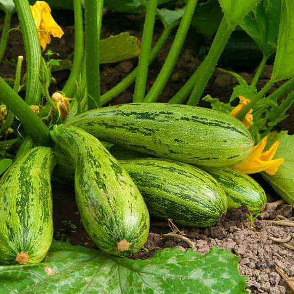 Buy Squash Long Green Vegetable Seeds Online From Nurserylive At Lowest Price