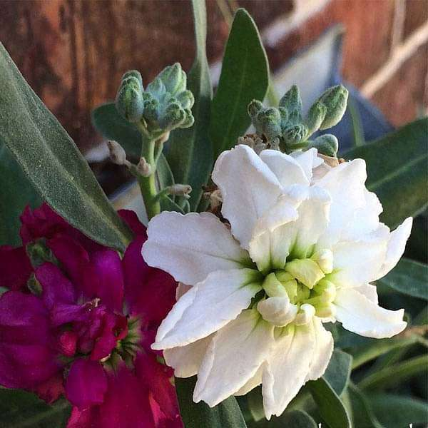 Stock, Matthiola incana Double Mixed Color - Flower Seeds - Nurserylive