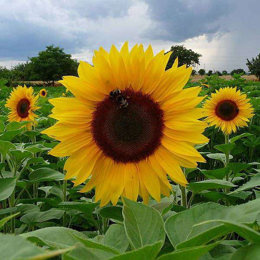 Sunflower Russian Giant - Desi Flower Seeds - Nurserylive