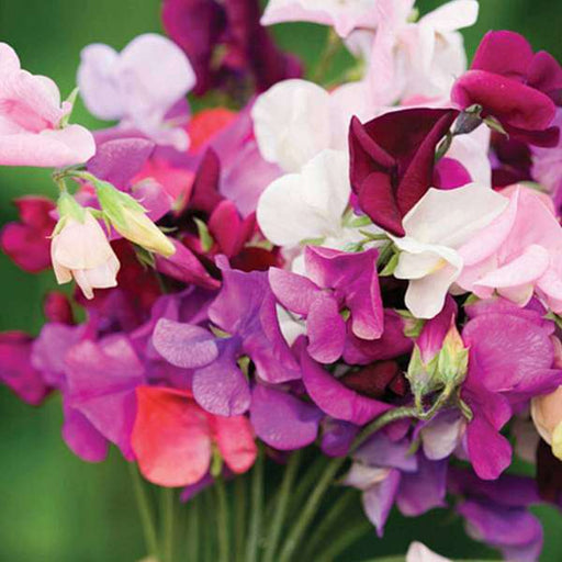Sweet Pea Bonanza Mixed Color - Flower Seeds - Nurserylive
