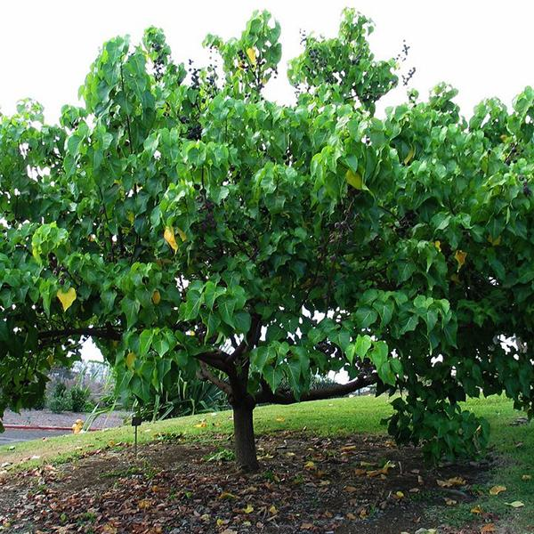Thespesia Populnea, Portia Tree - 0.5 kg Seeds