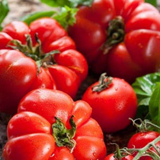 Tomato Marglobe - Heirloom Vegetable Seeds - Nurserylive