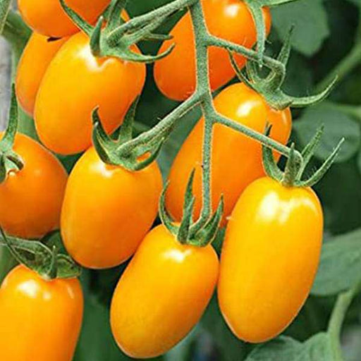 Tomato Plum Yellow - Vegetable Seeds - Nurserylive