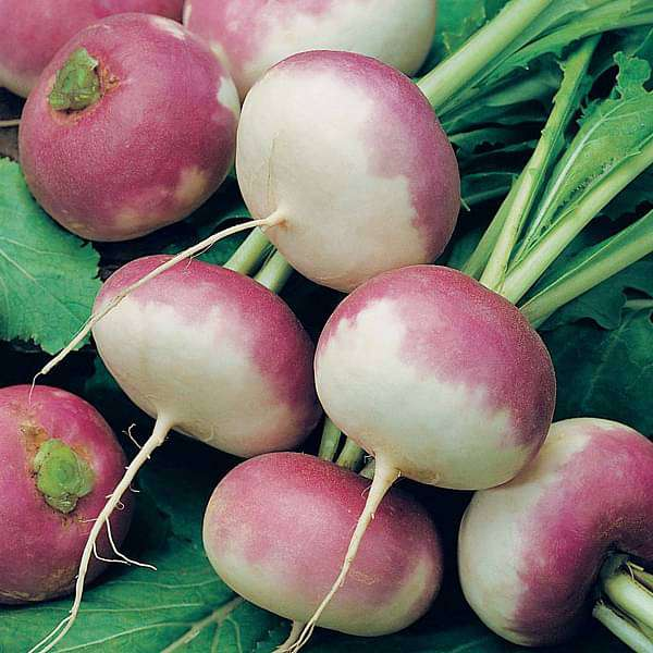 Turnip Purple Top - Desi Vegetable Seeds - Nurserylive