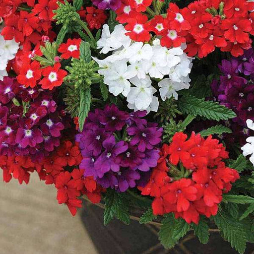 Verbena Quartz Mixed Color - Flower Seeds - Nurserylive