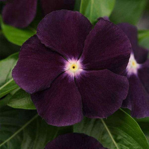 Vinca F1 Nana Black Purple - Flower Seeds - Nurserylive