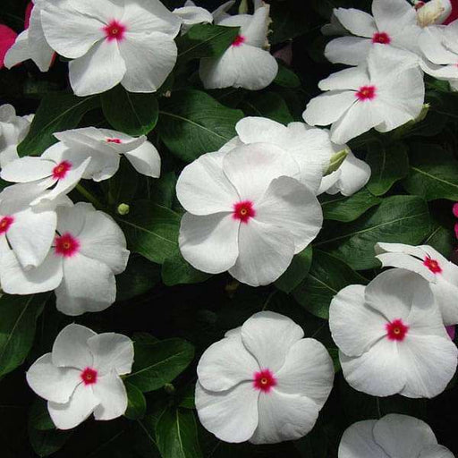 Vinca F1 Nana Little Bright Eyes - Flower Seeds - Nurserylive