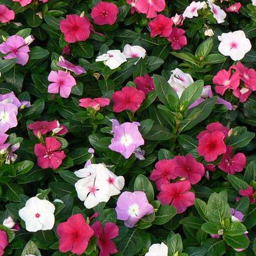 Vinca F1 Nana Mixed Color - Flower Seeds - Nurserylive