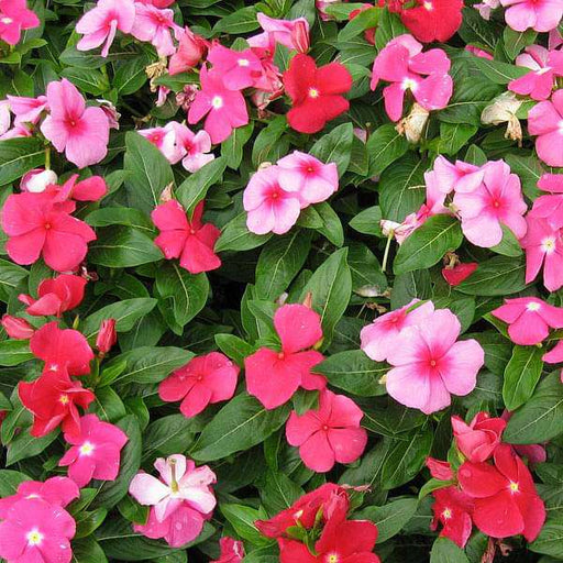 Vinca Mixed Color, Periwinkle Mixed Color - Desi Flower Seeds - Nurserylive