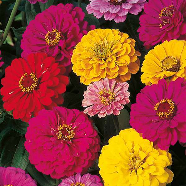 Zinnia Dahlia Mixed Color - Desi Flower Seeds - Nurserylive
