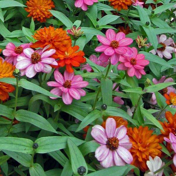 Zinnia Double Mixed Color - Desi Flower Seeds - Nurserylive