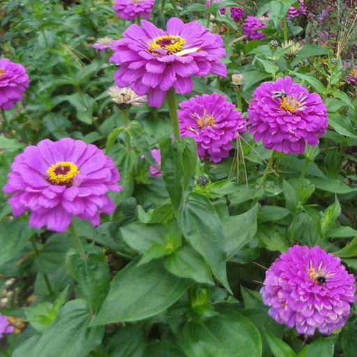Zinnia F1 Tall Purple - Flower Seeds - Nurserylive