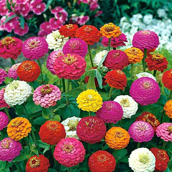 Zinnia Liliput Mixed Color - Flower Seeds