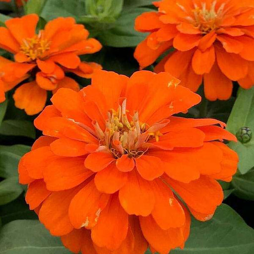 Zinnia Orange Tall - Desi Flower Seeds - Nurserylive