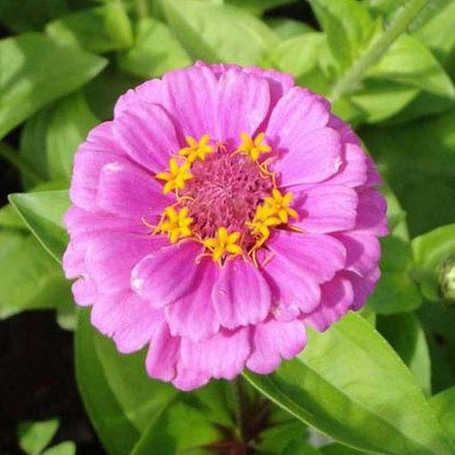Zinnia Pink Tall - Desi Flower Seeds - Nurserylive