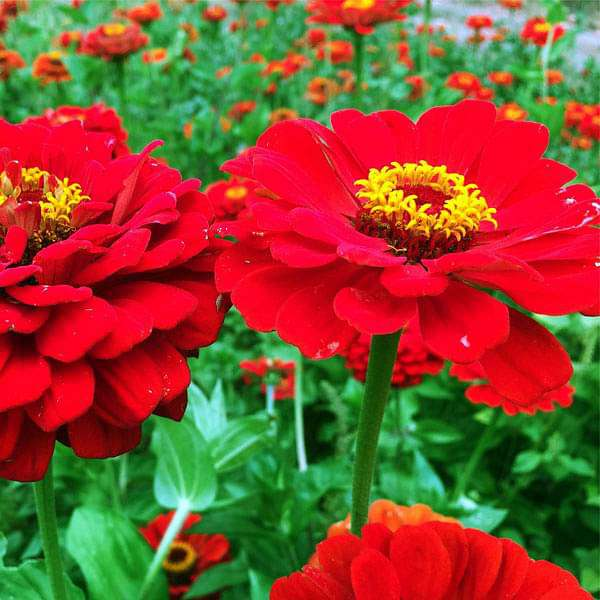 Zinnia Red Tall - Desi Flower Seeds - Nurserylive