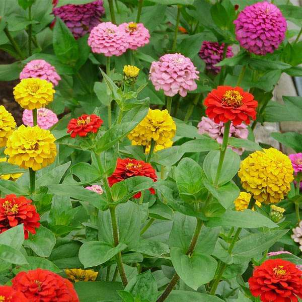 Zinnia Tall Mixed Color - Desi Flower Seeds - Nurserylive