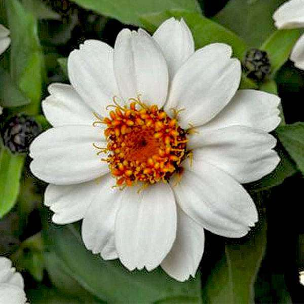 Zinnia White Tall - Desi Flower Seeds