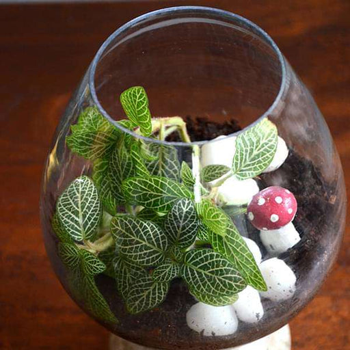 Fittonia wine goblet terrarium (6in Ht) - Nurserylive