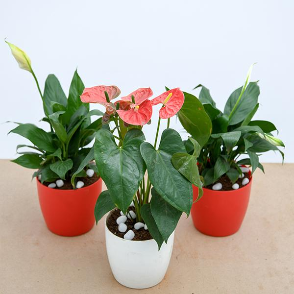 Top 3 Flowering Indoor Plants to Purify Air
