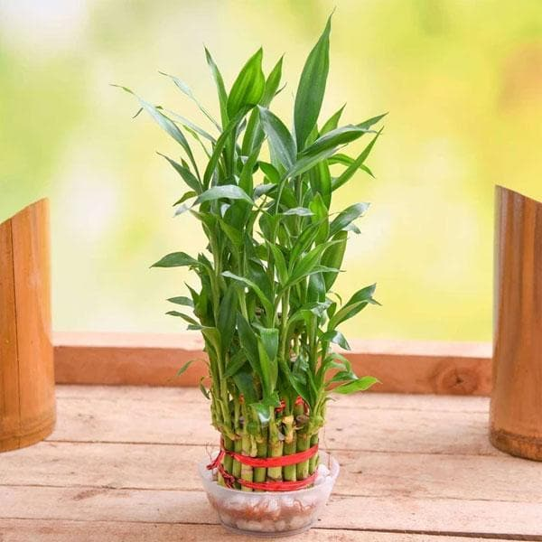 Lucky Bamboo - 5 Seeds