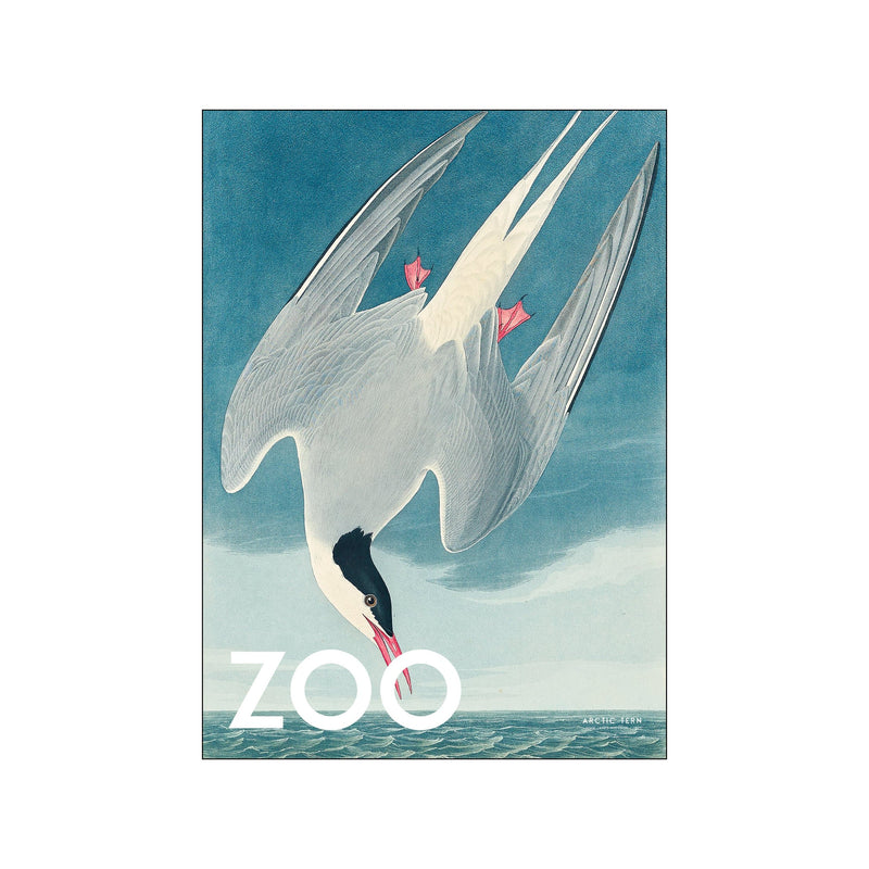 The Zoo Collection — Arctic Tern — Edt. 002