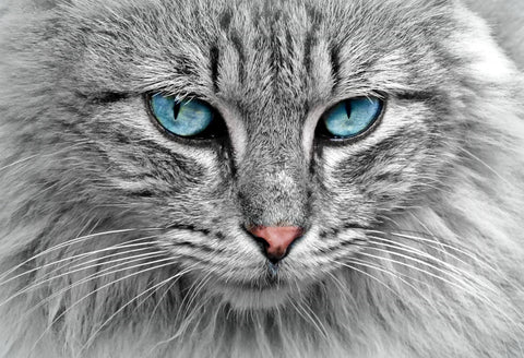 Special Order - Blue Eyed Cat - Full Drill Diamond Painting - Specially ordered for you. Delivery is approximately 4 - 6 weeks.