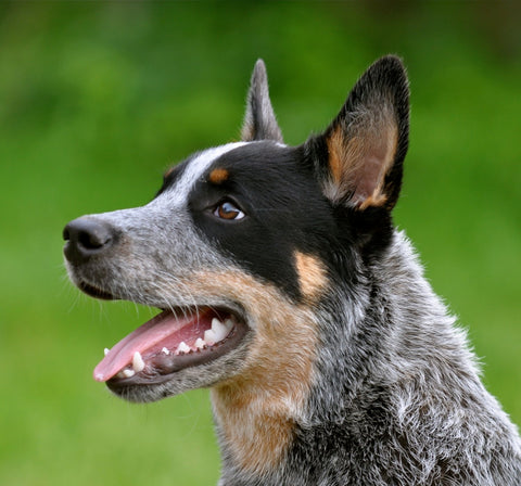 Special Order - Blue Heeler - Full Drill Diamond Painting - Specially ordered for you. Delivery is approximately 4 - 6 weeks.