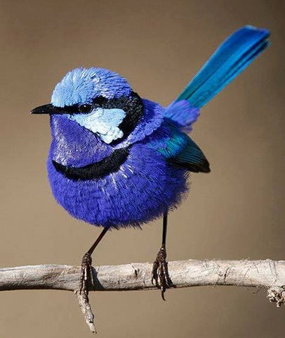 Blue Wren - Full Drill Diamond Painting - Specially ordered for you. Delivery is approximately 4 - 6 weeks.