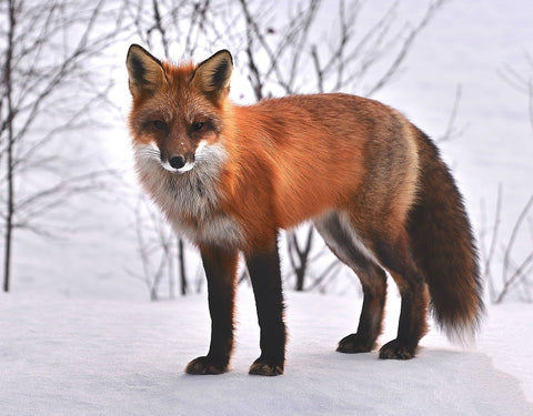 Special Order - Fox in Snow - Full Drill diamond painting - Specially ordered for you. Delivery is approximately 4 - 6 weeks.