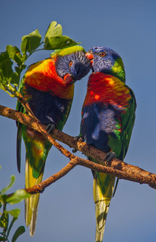 Special Order - Rainbow Lorikeets 03 - Full Drill Diamond Painting - Specially ordered for you. Delivery is approximately 4 - 6 weeks.