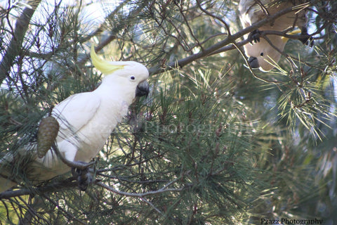 Pzazz Photography - Sulphur Crested Cockatoo's - Full Drill Diamond Painting - Specially ordered for you. Delivery is approximately 4 - 6 weeks.