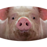 Pig Face (2 Styles!) - Adult & Youth  Non-Medical Face Mask (5573728796837)
