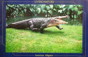 American Alligator Posters